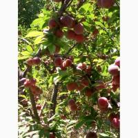 Продам сливы и яблоко оптом