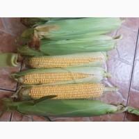 Продам кукурузу оптом мегатон ф1