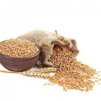 Пшеница 4 класса из Казахстана