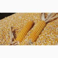 Кукуруза из Казахстана
