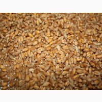 Продам пшеницу 3 класс мягких сортов