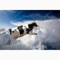 Племенные нетели порода голштино-фризская HF (Holstein Friesian) из ЕС