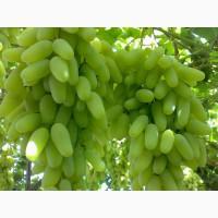 Продаём оптом виноград сортов Ризамат, Хусайни и Дамсуий пальчик