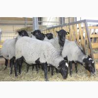 Предоставляем на експорт с Украины - МРС (овцы, ягнята) жывой вес