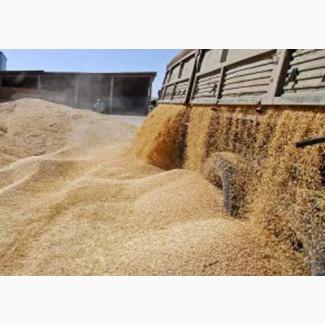 Пшеница мукомольная DAP Узбекистан