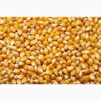 Продаю кукурузу оптом
