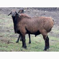 Продаются овцы
