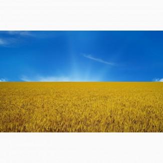 Пшеницу (зерно) 4-3 класса