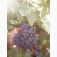 Продажа виноград
