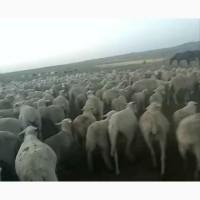 Продам мериносовых овец