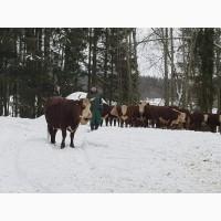 Продажа товарных беременных коров пород Черно-пестрая, Симментал, Герефорд, Казахская бел