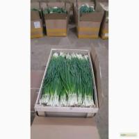 Продам лук зеленый