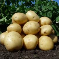 Продам картофель в свежим виде