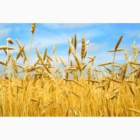 Продажа фуражной пшеницы (5 класс) из Казахстана