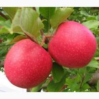 Продам Яблоки и помидоры свежие, оптом