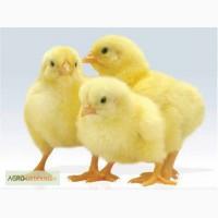 Продам цыплята кобб 500