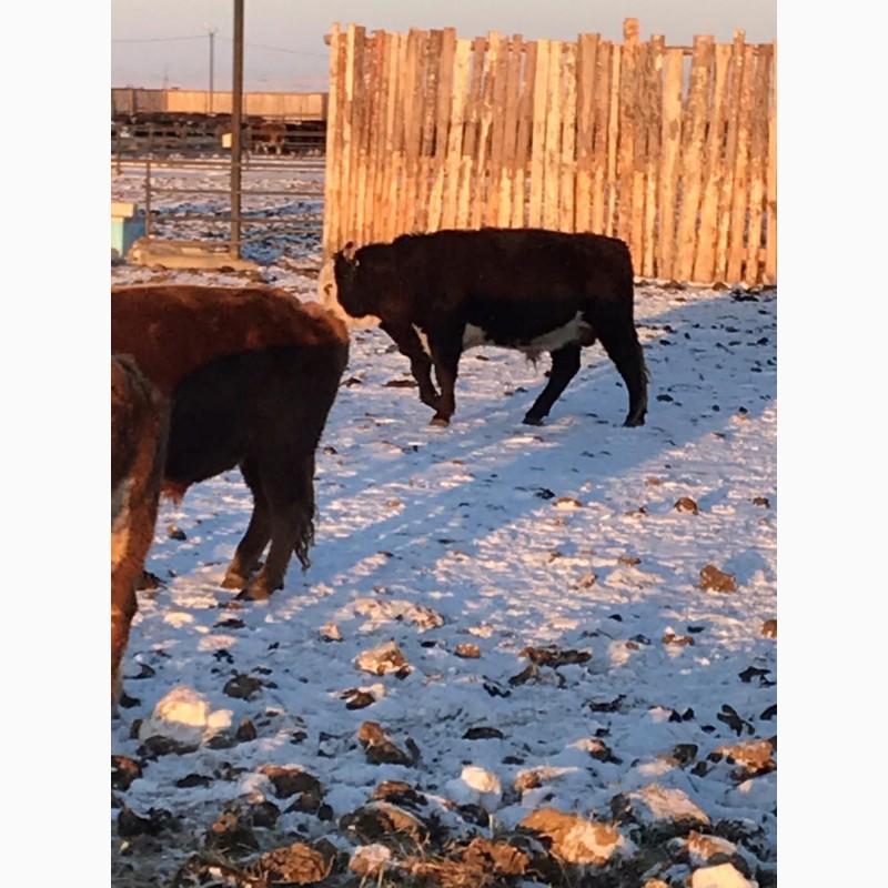 Фото 4. КРС, бычки, мясо, мал, бык