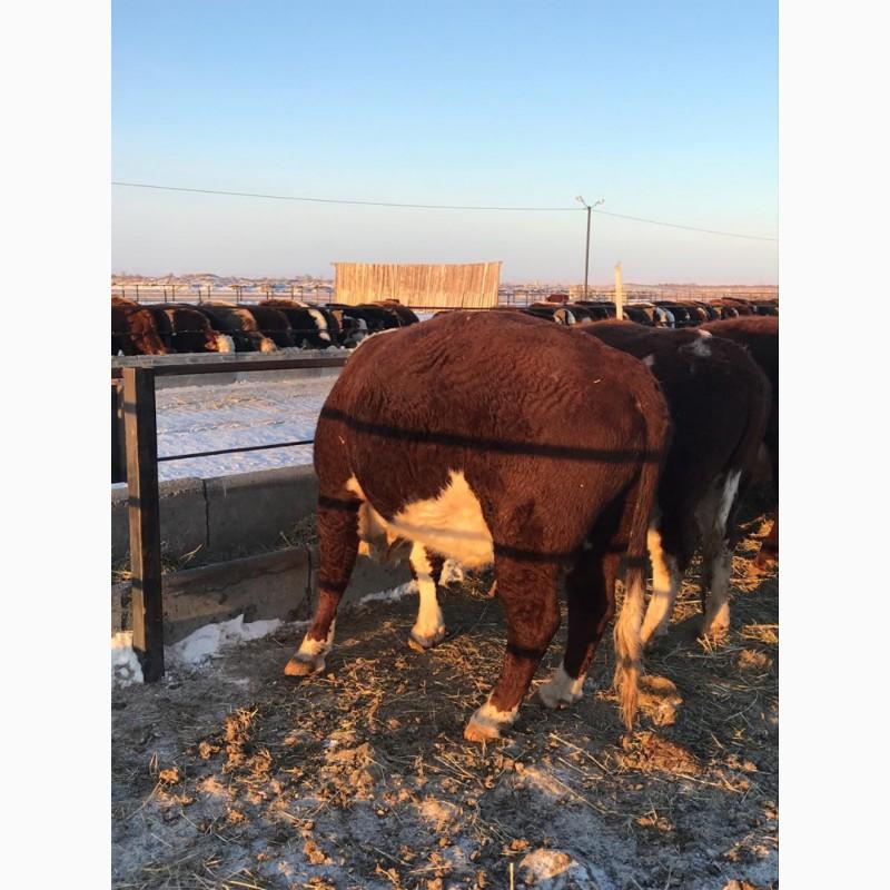 Фото 5. КРС, бычки, мясо, мал, бык