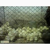 Цыплята, жужалар сотилади