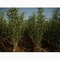Саженцы плодовых деревьев Узбекистан