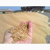 Пшеница оптовые поставки