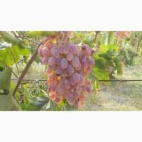 Продам виноград оптом сорт Тойфи
