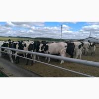 Продажа племенных нетелей молочных пород КРС, КРС живым весом оптом