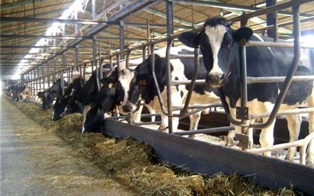 Фото 3. Продажа племенных нетелей молочных пород КРС, КРС живым весом оптом
