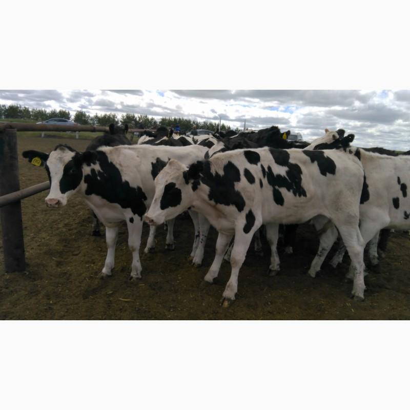 Фото 4. Продажа племенных нетелей молочных пород КРС, КРС живым весом оптом