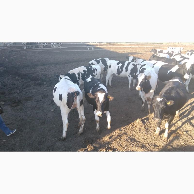 Фото 6. Продажа племенных нетелей молочных пород КРС, КРС живым весом оптом