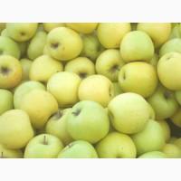 Продам яблоки от производителя с Киргизтана