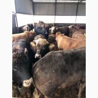 Продам быков, телок, нетелей, тельных коров