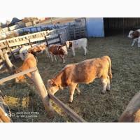 Коровы и быки из России