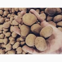 Картофель для посева