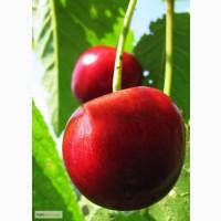 Продажа вишни