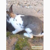 Продается кролики: самки и самцы