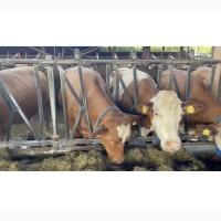 Реализуем крупный рогатый скот с Европы