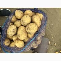 Картофель оптом из Казахстана