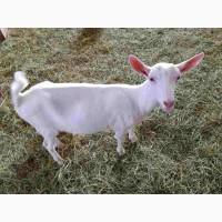 Предлагаем племенных зааненских коз из Сербии