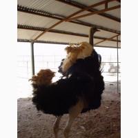 Купить страусов из Ирана оптом