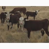 Реализуем бычков, телок, нетелей