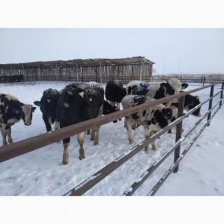 Продам бычков Голштинской породы