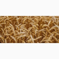 Пшеница из Казахстана
