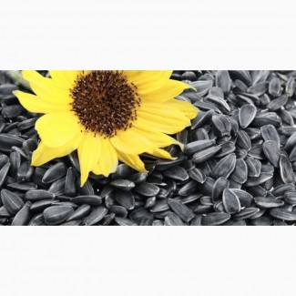 Семена подсолнечника масляничные