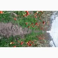 Продаю свежие памидоры из теплицы (томаты)