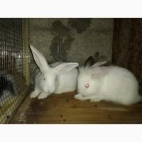 Продаются месячные крольчата