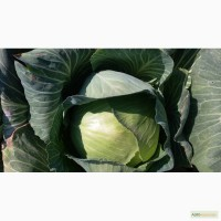 Прода белокачанной капусты