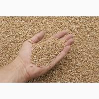 Пшеница 3 класса DAP Узбекистан