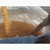 Кукуруза желтая в Ташкенте