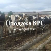 Продажа КРС оптом по России и странам СНГ, Молочные нетели